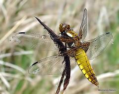 DSC06230. Broad-bodied Chaser (Libellula depressa) F (Nick Ransdale) Tags: broadbodied chaser libellula depressa
