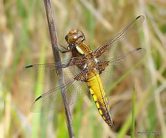 DSC06246. Broad-bodied Chaser (Libellula depressa) M-Imm (Nick Ransdale) Tags: broadbodied chaser libellula depressa