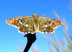 IMG_0001x (gzammarchi) Tags: italia paesaggio natura pianura campagna ravenna sanmarco animale farfalla
