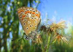 IMG_0002x (gzammarchi) Tags: italia paesaggio natura pianura campagna ravenna sanmarco animale farfalla
