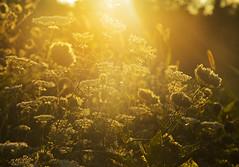 September Gold (Matt Champlin) Tags: thursday week gold golden life plants nature summer canon 2019 walk hike hiking beautiful