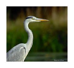 Patiently Waiting (Graham Pym On/Off) Tags: nikon nature bird d7100 devon heron waterside wings grey canal fantasticnaturegroup ngc coth5 npc