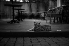 Cat (sou.0103.touch5) Tags: monochrome 50mm summicron summicron50mm m10 leica leicam10
