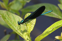 Ebony Jewelwing - Calopteryx maculata - Washington County, Rhode Island, USA - July 6, 2019 (mango verde) Tags: ebonyjewelwing calopteryxmaculata calopterygidae broadwingeddamselflies calopteryx maculata damselfly odonata jewelwing franciscarterpreserve washingtoncounty rhodeisland usa mangoverde