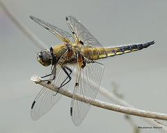 DSC06579. Four-spotted Chaser (Libellula quadrimaculata) M (Nick Ransdale) Tags: fourspotted chaser libellula quadrimaculata