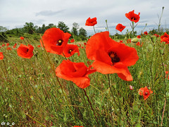coquelicots (dr o_o) Tags: coquelicots poppies