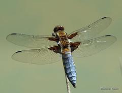 DSC09076. Broad-bodied Chaser (Libellula depressa) M (Nick Ransdale) Tags: broadbodied chaser libellula depressa