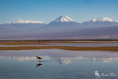 Salar d'Atacama (pixarmor) Tags: chili flamantduchili lagunadechaxa phoenicopteruschilensis sanpedrodeatacama oiseaux voyage échassier