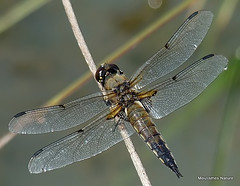 Four-spotted Chaser (Libellula quadrimaculata) M (Nick Ransdale) Tags: fourspotted chaser libellula quadrimaculata
