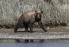 Out For a Stroll (tomblandford) Tags: coastalbrownbear brownbear alaskanwildlife alaskanbrownbear lakeclarknationalparkbear bear wildlifeofthewest nature conservation protecttheenvironment protectpubliclands protectwildlife nationalpark outside outdoors