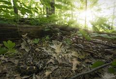 Eastern Massasauga Rattlesnake (Nick Scobel) Tags: eastern massasauga rattlesnake sistrurus catenatus michigan rattler venomous snake forest trees sunrise sun rays scenic wide angle habitat warmth scales hidden pattern