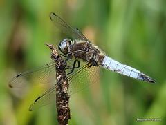 Scarce Chaser (Libellula fulva) M (Nick Ransdale) Tags: scarce chaser libellula fulva