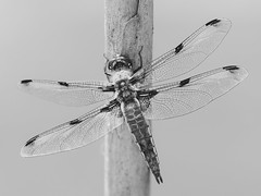 Chaser In b&w II (bredmañ) Tags: mono monotone monochrome blackandwhite bw dragonfly insect fourspotted chaser fourspottedchaser nature naturallight wild wildlife uk britain handheld macro closeup wings olympus em1mkii 3004