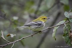 Black-throated Green Warbler (johnsutton580) Tags: corinth vermont unitedstates