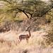 Samburu antelope