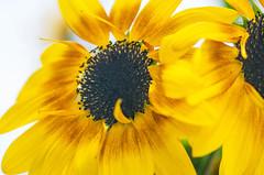 Sunflowers (~DGH~) Tags: 2019 alberta canada edmonton pentaxk50 september macro smcpentaxdfamacro100mmf28wr sunflowers ~dgh~ summer