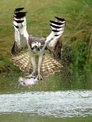 Osprey (robin denton) Tags: bird nature wildlifephotography wildlife flight flying pandionhaliaetus rutland osprey fishing oakham uk hornmill rivergwash