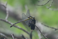 Dragonhunter - Hagenius brevistylus - Washington County, Rhode Island, USA - July 6, 2019 (mango verde) Tags: dragonhunter hageniusbrevistylus gomphidae clubtails hagenius brevistylus dragonfly odonata clubtail franciscarterpreserve washingtoncounty rhodeisland usa mangoverde
