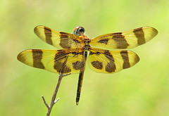 Halloween pennant of August (Vicki's Nature) Tags: halloweenpennant dragonfly male brown golden stripes biello georgia vickisnature canon s5 9848 celithemiseponina