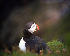 Puffin portrait (mia depaola) Tags: explore outside abstract shetland scotland wildlife closeup portrait puffin