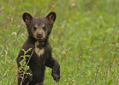 Black Bear cub...#44 (cute little guy). (Guy Lichter Photography - 5.1M views Thank you) Tags: canon 5d3 canada manitoba rmnp wildlife animal animals mammal mammals bear bears blackbear cub