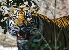 Lo sguardo della tigre (giorgiorodano46) Tags: settembre2019 september 2019 giorgiorodano bioparco roma italy animali animals