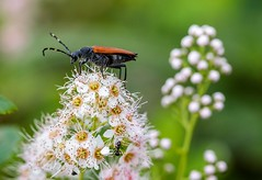 King of the Bug World (Karen_Chappell) Tags: insect bug beetle flower floral nature macro bokeh white green pink wildflowers wildflower meadowsweet canonef100mmf28usmmacro bidgoodpark newfoundland nfld canada eastcoast atlanticcanada avalonpeninsula stjohns orange black