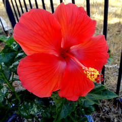 Tropical Hibiscus (austexican718) Tags: flower container plant garden poolside hibiscus tropicalplant texas sony compact comalcounty
