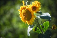 04092019-DSC_0001 (vidjanma) Tags: fleurs tournesol