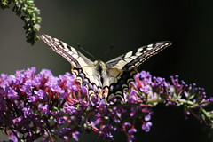 Swallowtail (montseny visions) Tags: butterfly nature colors colours mariposa papallona catalunya catalonia wings insect flower wildlife macro outdoor field beauty wild natural world swallowtail gombrèn ngysa