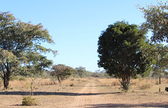 Gravel Roads (Rckr88) Tags: waterberggamepark limpopo southafrica waterberg game park south africa gravel roads gravelroads gravelroad road nature naturalworld outdoors travel travelling trees tree wilderness