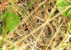 Western Green Lizard (Lacerta bilineata) Sub Adult Female 05-09-19 1 (Nick Dobbs) Tags: reptile lizard western green lacerta bilineata naturalised