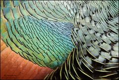 Ocellated Turkey (Meleagris ocellata) (Glenn Bartley - www.glennbartley.com) Tags: animal animalia animals aves avian bird birdwatching birds guatemala glennbartley nature neotropical centralamerica wildlife ocellatedturkeymeleagrisocellata