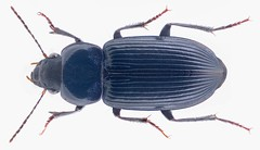 Xenodochus melanarius sissekabanus Basilewsky, 1946 (urjsa) Tags: coleoptera beetle insect carabidae xenodochus melanarius xenodochusmelanarius namibia southafrica suedafrika taxonomy:binomial=xenodochusmelanarius taxonomy:family=carabidae taxonomy:genus=xenodochus taxonomy:species=melanarius geo:country=namibia coleopteraus kaefer taxonomy:order=coleoptera sissekabanus taxonomytrinomialxenodochusmelanariussissekabanus