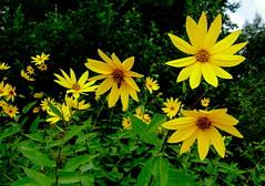 Flowers (In the Forest) (galterrashulc) Tags: olympus sp550uz latvia riga jugla rīga latvija lettland irina galitskaya galterrashulc flowers green yellow nature grass tree forest bea flora fauna
