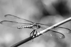 Dragonfly - Nice Balance (Modkuse) Tags: insect creature dragonfly nature natural art artphotography artistic artisticphotography photoart fineartphotography fineart macro macrophotography macrolens macroinsects monochrome bw blackandwhite 80mm 80mmmacro xf80mmf28rlmoiswrmacro xf80mmf28rlmoiswrmacrolens fujinonxf80mmf28rlmoiswrmacro fujifilm fujifilmxt2 fujinon xt2 bokeh creamybokeh