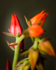 Color splash (risaclics) Tags: looking close friday black background 60mmmacro nikond610d red september2019 bud flora flowers orange succulents yellow lookingcloseonfriday blackbackground