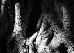 Banyan tree in light and shadow (Robin Wechsler) Tags: tree blackandwhite nature banyantree