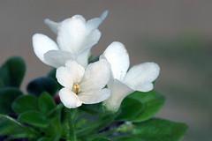 LE - Princessa  Leja  african violet (Adam Nowak) Tags: petals violets color flowers leaves buds hair saintpaulia africa