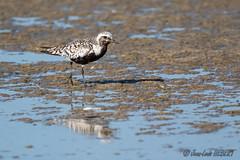 Pluvier argenté (jean-louis21) Tags: camargue oiseaux pluvier argenté