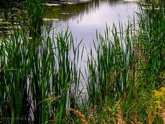 Pond   (In the Forest) (galterrashulc) Tags: latvia riga jugla rīga latvija lettland olympus sp550uz pond green water nature landscape flora flowers grass irina galitskaya galterrashulc