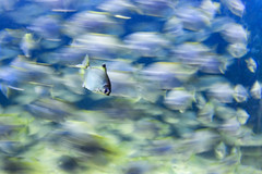 Staying still (Pai Shih) Tags: fish aquarium fishtank swimming