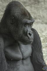 Bright Eyes 2019 (TheArtOfPhotographyByLouisRuth) Tags: gorilla ape zooanimals zoosaroundtheworld woodlandzoo louisruthphotography nikond810 nikon85mmf18 netgeo primate optimalexcellence thebestshots portrait composition prophoto