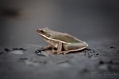 Tree Frog (treydavisonline) Tags: nikon d750 macro 100mm ofc flashpoint zoom lion treefrog frog toad tree wet animal amphibian hop eyes skin eye flash 28
