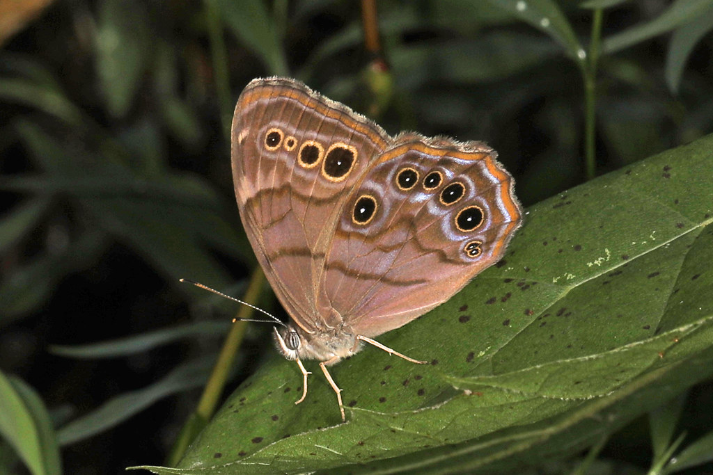 Northern Pearly-eye - Lethe anthedon, Oc by Judy Gallagher, on Flickr
