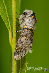 Sallow Kitten (Furcula furcula) (gcampbellphoto) Tags: sallow kitten furcula moth insect macro nature wildlife gcampbellphoto north antrim northern ireland