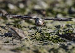 curlew sandpiper (madziulka_a) Tags: curlewsandpiper biegus poland nikon d850 nikkor 200500mm wildlife nature photography sea bird