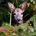 Chevreuil - chevrette - Phalempin - Roe deer