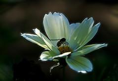 DSC09760 (Argstatter) Tags: blume blüten bokeh weis insekt flower makro natur
