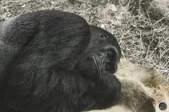 Nap time 2019 (TheArtOfPhotographyByLouisRuth) Tags: gorilla ape primate